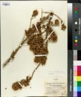 Image of Vernonia mucronulata