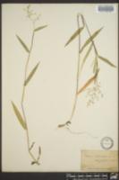 Dichanthelium oligosanthes image