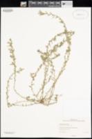 Lythrum hyssopifolia image