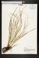 Carex basiantha image