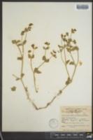 Image of Hesperonia retrorsa