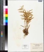 Panicum meridionale image