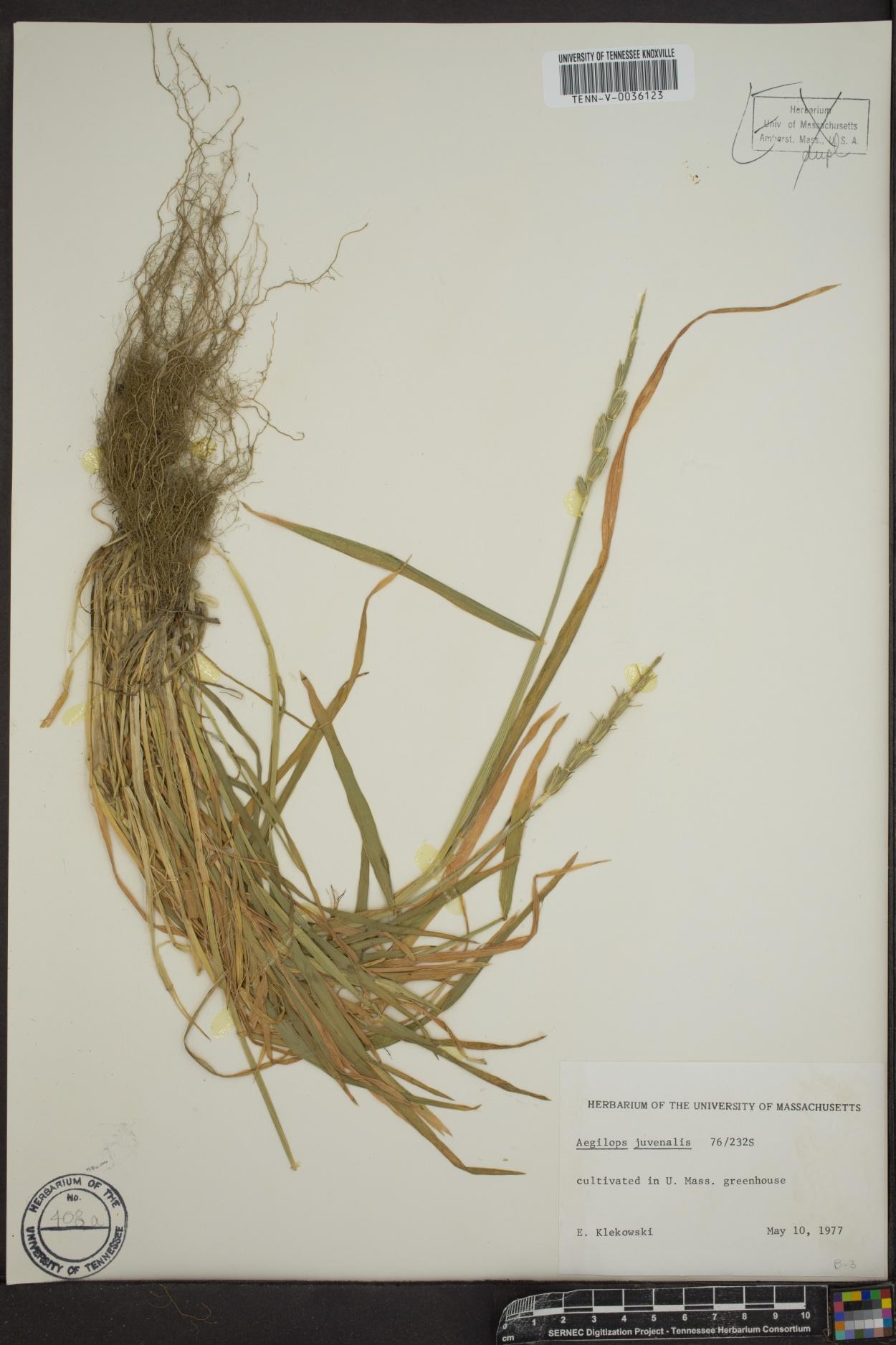 Aegilops juvenalis image