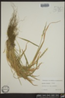 Image of Aegilops juvenalis