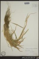 Image of Aegilops juvenalis