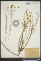 Image of Actinospermum angustifolium