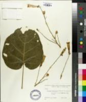 Image of Nicotiana benavidesii