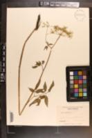 Cicuta maculata image