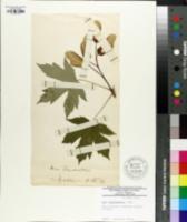 Acer heldreichii subsp. trautvetteri image