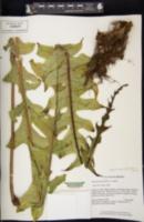 Image of Aglaomorpha quercifolia
