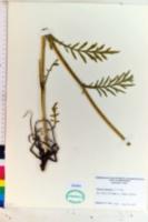 Knautia arvensis image