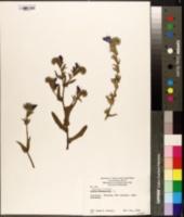 Image of Echium plantagineum