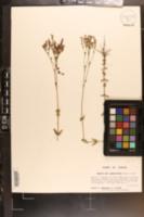 Image of Hypericum gymnanthum