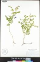 Lathyrus torreyi image