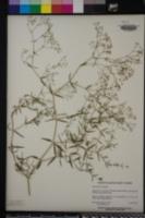 Gypsophila paniculata image