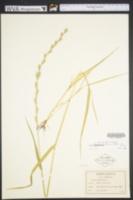 Image of Lolium persicum