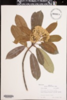 Image of Photinia serrulata