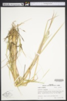 Image of Eragrostis sessilispica