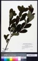 Salix aurita image