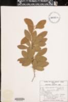 Sideroxylon lanuginosum subsp. lanuginosum image