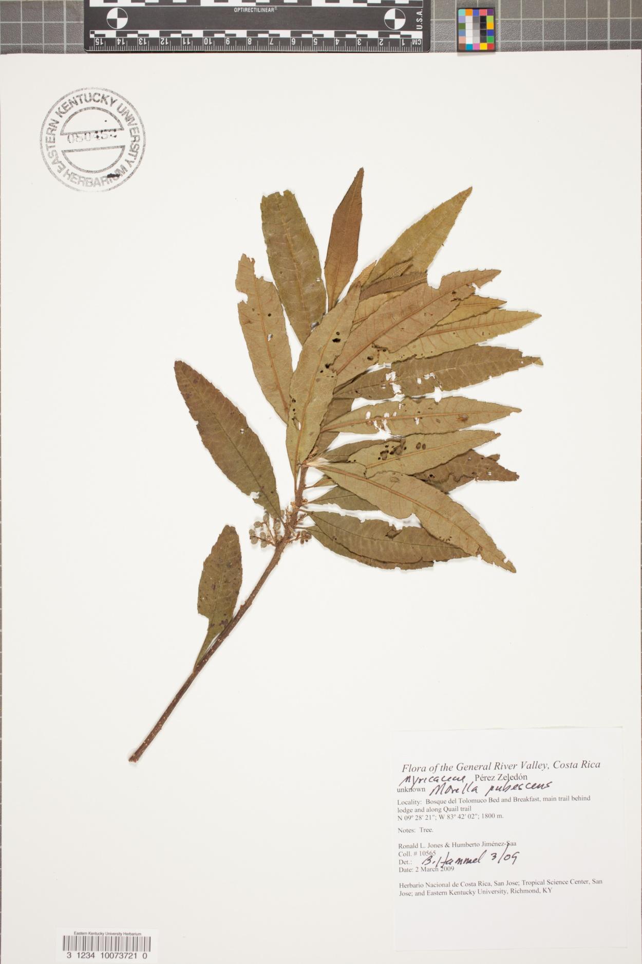 Morella pubescens image