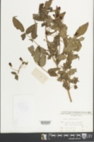 Image of Rubus sumatranus