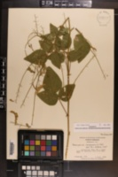 Desmodium canescens image