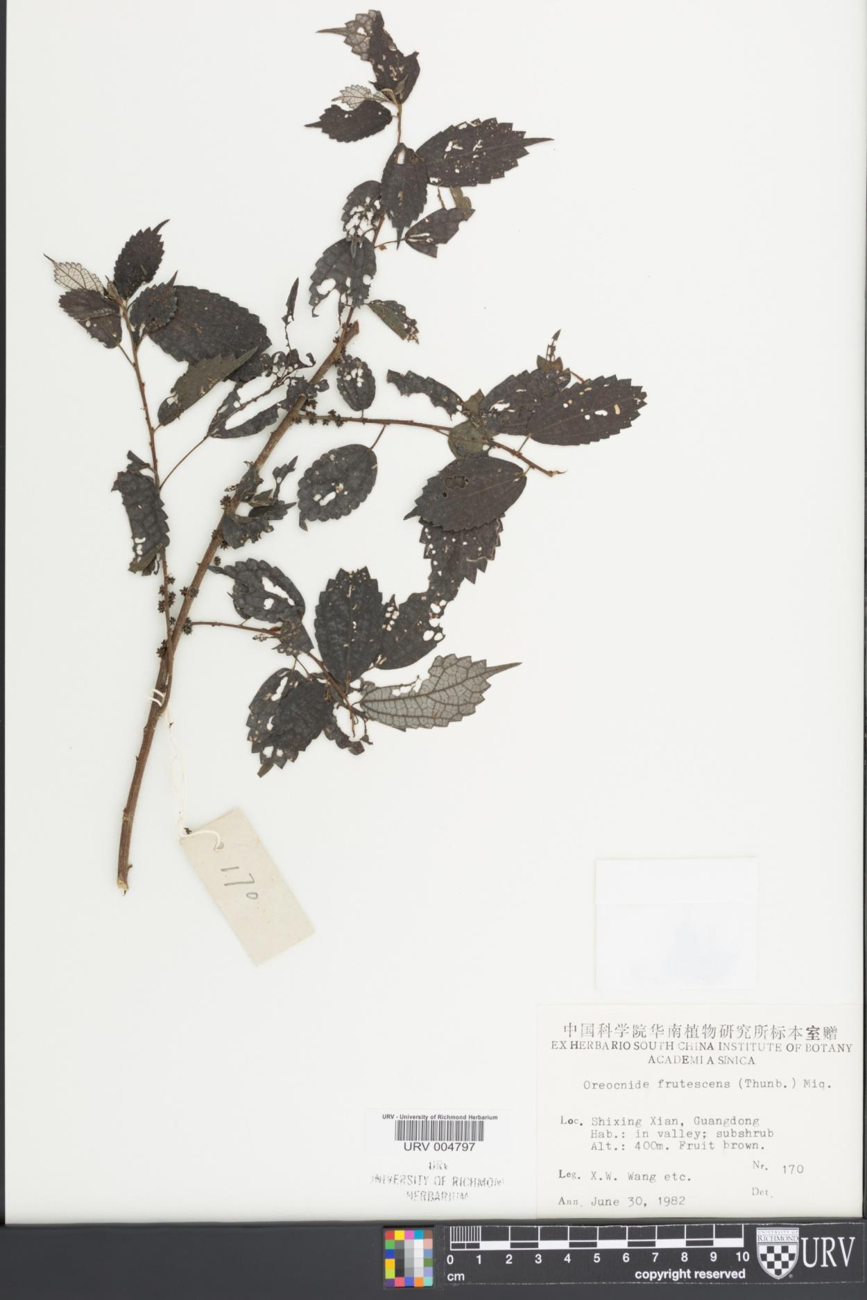 Oreocnide frutescens image