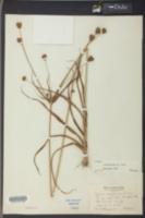 Cyperus retrofractus image