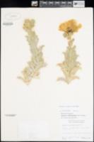 Argemone subintegrifolia image