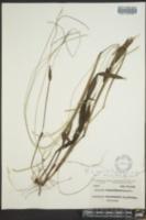Image of Paspalum longipedunculatum