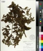 Image of Lepidaploa acuminata