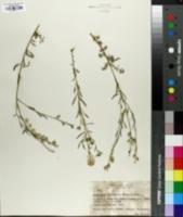 Image of Aethionema grandiflorum