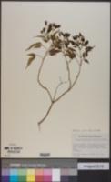 Image of Bidens cervicata
