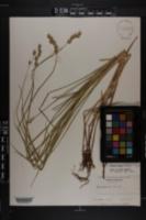 Carex alata image