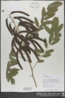 Chamaecrista mimosoides image