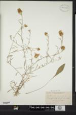 Image of Centaurea amara