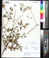 Image of Solanum triquetrum