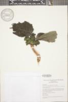 Image of Drymonia macrantha