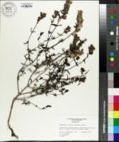 Image of Rhinanthus serotinus