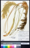 Image of Chionochloa flavicans