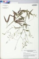 Desmodium paniculatum image