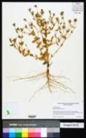 Image of Sabatia arenicola