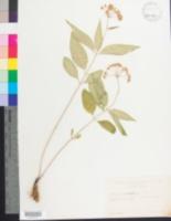Image of Asclepias quadrifolia