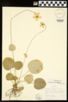 Parnassia grandiflora image