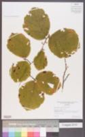 Hamamelis ovalis image