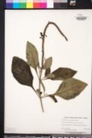 Image of Stachytarpheta speciosa