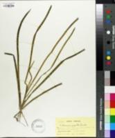 Image of Vallisneria gigantea