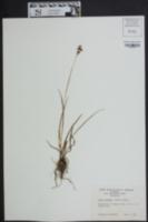 Luzula bulbosa image