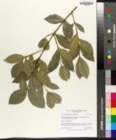 Garcinia livingstonei image